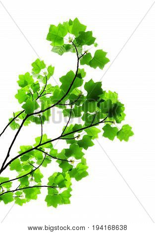 beautiful tree branch with green leaves isolated on white background