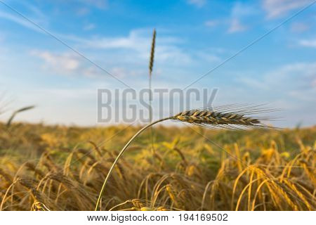 Vierw on white Clouds on a blue Sky above growing Cereals on a Farmland. Close-up of growing Cereal Crops on a Field. Natural Agriculture.