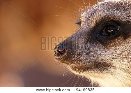 Close-up and sideview of a Meerkat animal head, face and nose