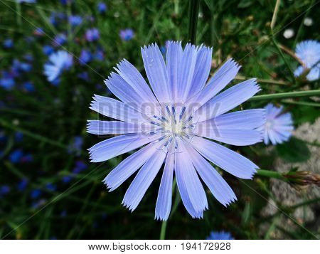 Chicory, flower of chicory. Natural background. Blue flower. Floral background. Endive. Summer background.