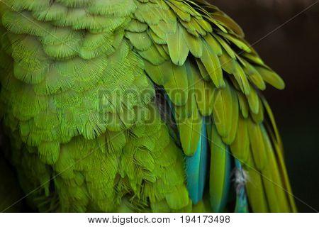 Green military macaw (Ara militaris). Plumage texture.