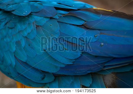 Blue-and-yellow macaw (Ara ararauna), also known as the blue-and-gold macaw. Plumage texture,