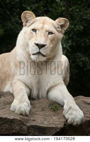 Female white lion. The white lions are a colour mutation of the Transvaal lion (Panthera leo krugeri), also known as the Southeast African or Kalahari lion.