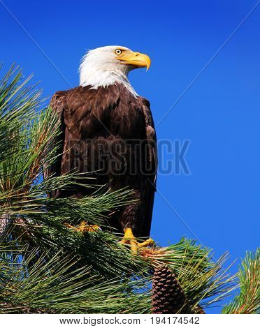 Looking Up at a Bald Eagle in a Pine Tree