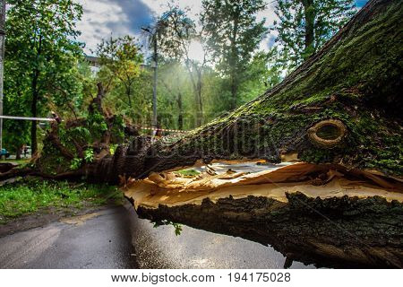 Gigantic tree with a huge crack fallen across the road as a result of the severe hurricane winds in one of courtyards of Moscow city