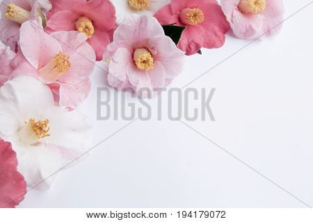 Soft Pink And White Camellia Flowers On White Background - Desaturated Vintage Look