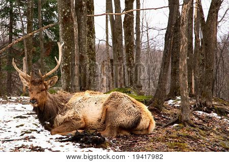 Wapiti Resting on the Melting Snow poster