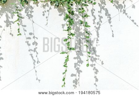 green plants and shadow leaf on white concrete wall.