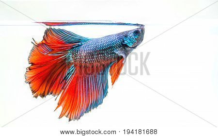 siamese fighting fish isolated on white background Betta fish