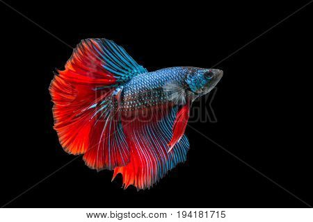 siamese fighting fish isolated on black background Betta fish