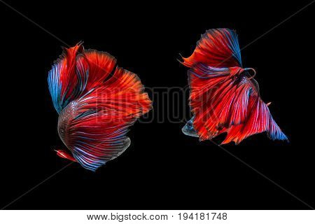 fighting of two fish isolated on black background. siamese fighting fish Betta fish