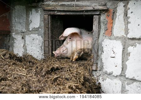 White Pig. Looks Out The Window. Pile Of Manure.