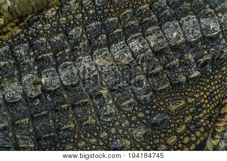 Close up Gray and black crocodile skin texture background.