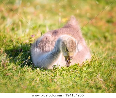 A Gosling Chick Sits in a Grassy Field in Oregon, USA.