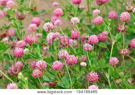 Trifolium pratense, the red clover, is a herbaceous species of flowering plant in the bean family Fabaceae.