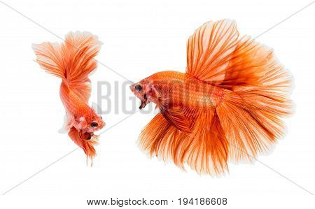 Orange fighting of two fish isolated on white background siamese fighting fish Betta fish. File contains a clipping path.