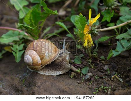 Snail gastropod mollusk with spiral sheath on the ground in the forest.