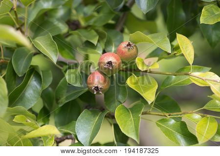 Green Immature Pears And Apples. Natural Background