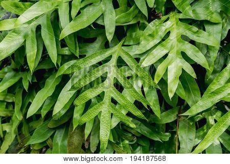 The wart fern of Hawaii. Phymatosorus grossus (Langsdorff & Fischer) Brownlie. Maile-Scented Fern