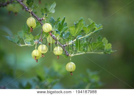 Fruits Berries Green Immature Gooseberries. Natural Background