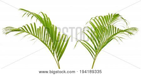 Green palm leaf isolated on white background.
