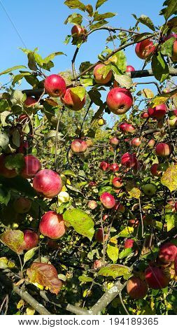 Branches of an apple-tree with ripe red apples in the sunny day