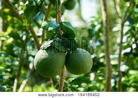Growing grapefruit on the plant, tropical fruit from the Mekong Delta, Vietnam. Nice blurred bokeh