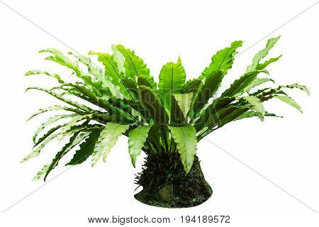 Bird's nest fern (Asplenium nidus) isolated on white background File contains a clipping path.