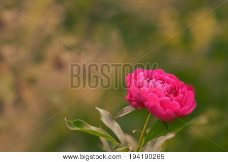 Natural background with a bright pion. Beautiful artistic image Selective focus