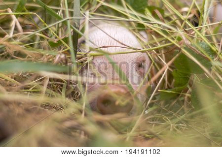 Piglet hiding in grass. Four day old domestic pigs outdoors with black spots on pink skin