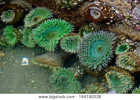 Sea Anemone in tide pool. La Push. Olympic National Park. Olympic Peninsula. Washington. United States.