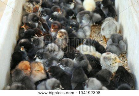 Little cute baby birds in incubator
