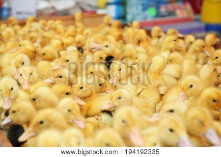 Little cute ducklings in incubator