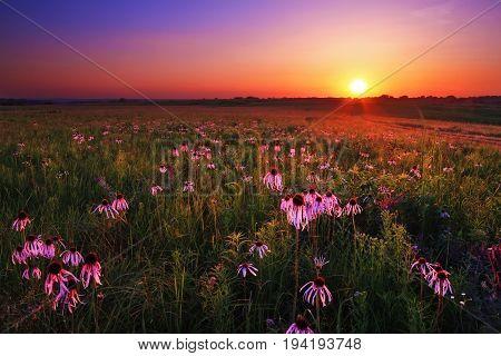 Purple coneflowers at twilight on Wah'Kon-Tah Prairie.
