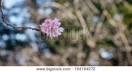 Sakura Blossom At Spring Time