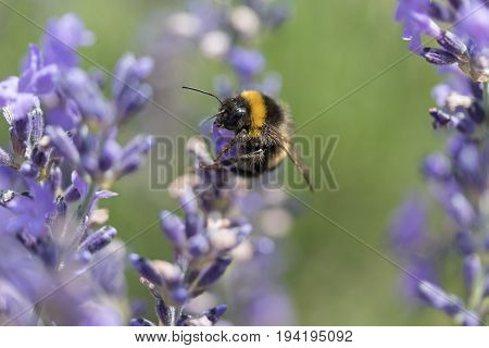 Closeup side view of the bumble bee on the lavender flower.