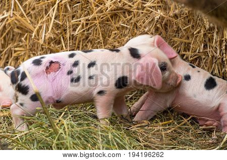 Oxford Sandy and Black piglets with wound. Four day old domestic pigs outdoors one with injury after being stepped on by mother shortly after birth