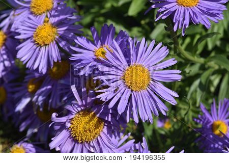 Lovely Purple and Yellow Aster Flowers In Nature