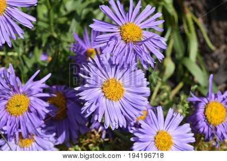 Beautiful Bloomed Purple And Yellow Aster Flowers
