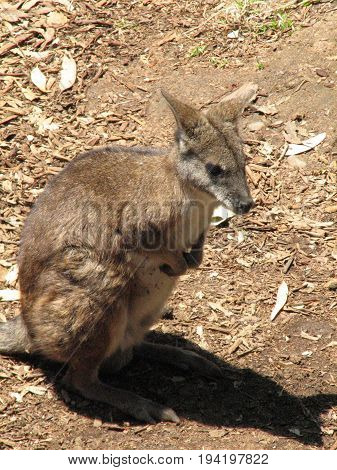 Cute kangaroo standing up on his hind legs.