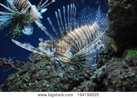 Two Vibrant Lionfish With Brown and White Stripes