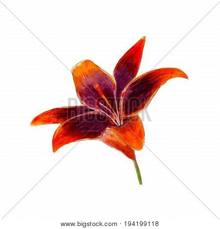 Watercolor lilium flower hand drawn isolated on white background.