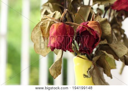 Close up of red withered died rose.