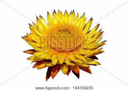 Helichysum (yellow) flower isolated on a white background