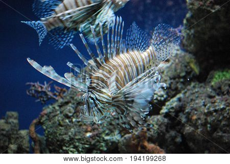 Two Gorgeous Brown and White Striped Lionfish