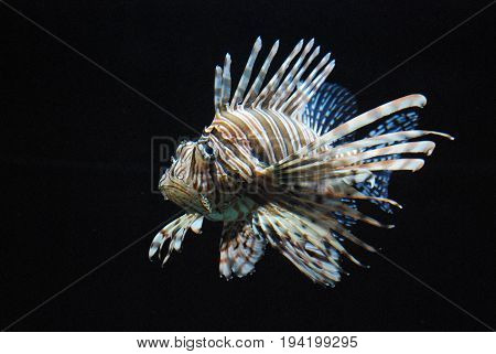 Really Vibrant Lionfish With Stripes Swimming Underwater
