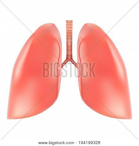 Human Lungs And Trachea Anatomy Isolated On A White Background. Realistic Vector Illustration. Medicine.