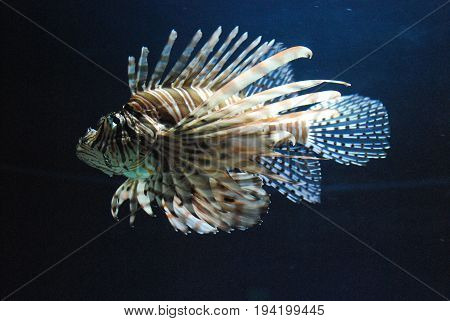 Stunning brown and White Striped Lionfish Swimming Around