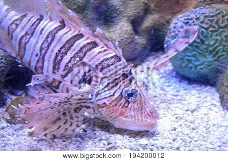 Really Gorgeous Multicolored Lionfish with Captivating Stripes