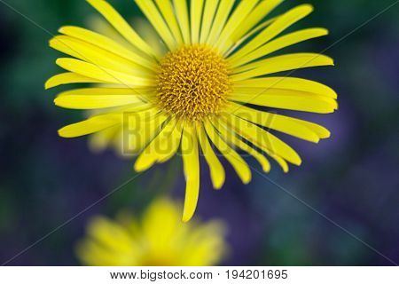 Doronicum (leopard's-bane leopardbane) yellow flower. Sunflower family. Close-up.